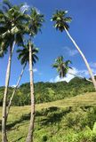 Rice field with palmtrees in the hills of Anda Stock Photography