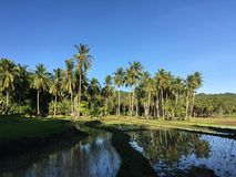 Rice field with palmtrees reflection Royalty Free Stock Image