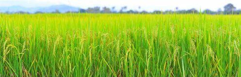Rice field panorama height resolution. Rice field panorama view height resolution stock images