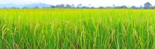 Rice field panorama  height resolution. Rice field panorama view height resolution Stock Images