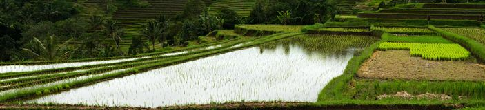 Rice Field Panorama. Main cereal in asian countries like China. Indonesia stock photo