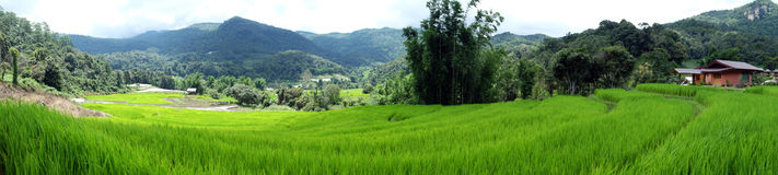 Rice field panorama in thailand. Rice field panorama view background in thailand royalty free stock photos
