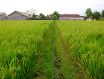 Rice field path Royalty Free Stock Image