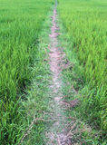 Rice field path stock images