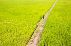 Rice field with pathway Stock Photos