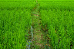 Rice field. Pathway to the rice field Royalty Free Stock Photos