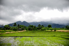 Rice Field in Philippines Stock Photography