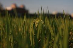 Rice Field Photo Stock Photo