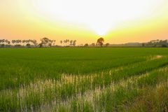 Rice field. This photo are rice field in Nakronnayok Thailand Stock Photos