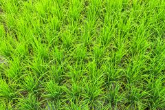 Rice field plant nature food asia thailand Stock Images