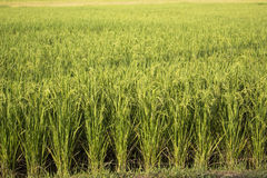 Rice field plant nature food asia thailand Royalty Free Stock Photo