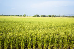 Rice field plant nature food asia thailand Stock Image