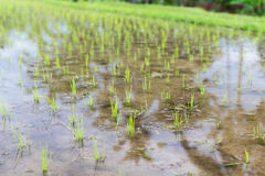 Rice field at plantation in asia Royalty Free Stock Photo