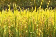 Free Rice Field Plantation Farming In Morning Sunrise Stock Images - 45368774