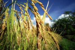 Rice Field Plantation Royalty Free Stock Photos