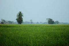 Rice field plantation Stock Photo