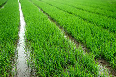 Rice field and planted rice in water Royalty Free Stock Photos