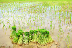 Rice field. Prepare in Thailand Royalty Free Stock Photo