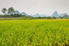 Rice field in rainy overcast weather Royalty Free Stock Image