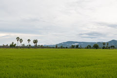 Rice field in rainy season and background of mountain mist. Stock Photo