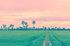 Rice field in rainy season. Retro vintage filter effect. Royalty Free Stock Image
