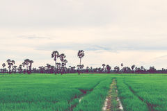 Rice field in rainy season. Retro vintage filter effect. Stock Photos