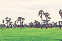 Rice field in rainy season. Retro vintage filter effect. Royalty Free Stock Images