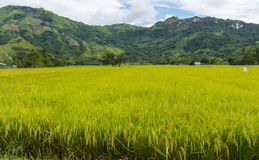 Rice field ready for harvest Royalty Free Stock Photo