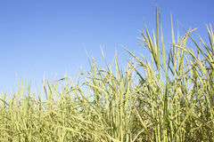 Rice field ready for harvest Stock Photography