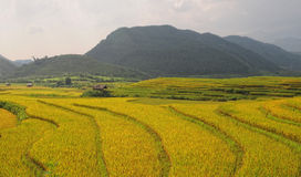 The rice field ready harvesting in Moc Chau, northern Vietnam Stock Photos