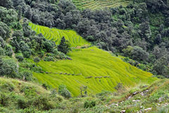 Rice field ready for harvesting in Nepal Stock Image