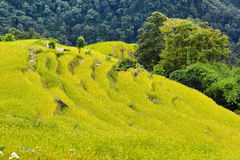 Rice field ready for harvesting in Nepal Stock Photography