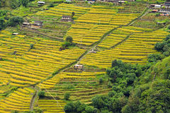 Rice field ready for harvesting in Nepal Royalty Free Stock Photo