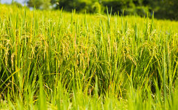 Rice in the field Royalty Free Stock Photos
