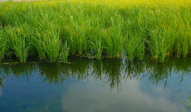 Rice field reflection Royalty Free Stock Photography