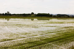 Rice field with reflection of sky Royalty Free Stock Photos