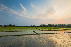 Rice field with reflection at twilight time Stock Images