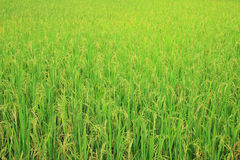 Rice field with rice panicle Stock Image
