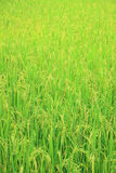 Rice field with rice panicle Stock Photo