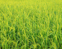 Rice field with rice panicle Royalty Free Stock Image