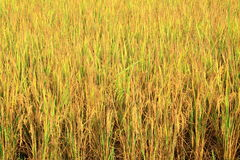 Rice field with rice panicle Stock Photos