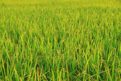 Rice field with rice panicle Royalty Free Stock Photo