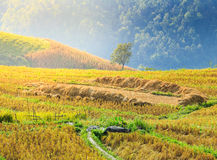 Rice field with rice stubble left after harvesting on high mount Royalty Free Stock Image