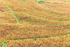 Rice field with rice stubble left after harvesting Stock Photo