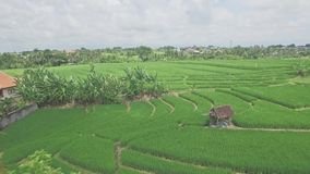 Rice Field Rise Green Aerial 4k. 4k aerial footage of a rice field on Bali, Indonesia stock video