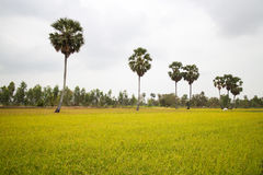 Rice Field and a Row of Palm Trees in Cambodia Asia Royalty Free Stock Image