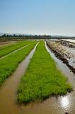 Rice field row Royalty Free Stock Photos