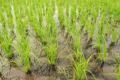 Rice field. Rows of rice in the rice field Royalty Free Stock Image