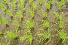 Rice field. Rows of rice in the rice field Stock Images