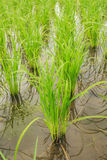 Rice field. Rows of rice in the rice field Stock Photography